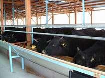 神戸牛,松坂牛の素牛:但馬牛(太田畜産)