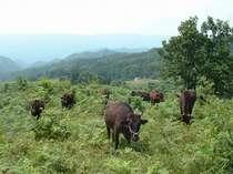 常時800頭が肥育され年間500頭が出荷される太田畜産の但馬牛