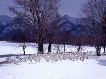 屈斜路湖はハクチョウの越冬地です