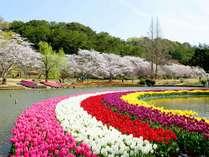 1500本の桜と50万のチューリップの競演は圧巻!はままつフラワーパーク