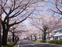 日立のさくら並木