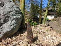 庭に出てきた竹の子