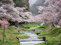 【車で10分】観音寺川の桜