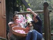 華やかな収穫。あざやかに香り高い「桜茶」になりました。
