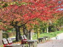 【ホテルを出てすぐ♪信濃川河川敷の紅葉】やすらぎ堤の桜の木が秋にはキレイに色づきます