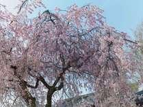 宮島桜の季節