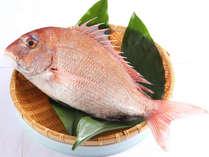 【愛媛ブランド 愛鯛】瀬戸内海の早い潮の中で育まれた身が絞まり、ぷりぷりした食感が自慢のブランド鯛