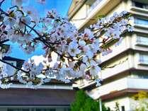 例年4月上旬に桜が開花します新潟の春は花満載です