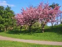 中島公園(春)桜の時期はとても綺麗でオススメです。