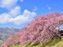 シーズン間近♪河津桜まつりは例年2/10~3/10で開催されます。
