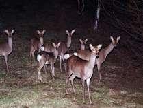 日本鹿、ナイトウオッチングプラン