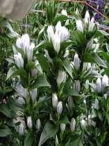 りんどう生産日本一の里(クリスタルアシロ)7月~11月までロビーの花にかかせません