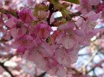 早咲きの河津桜で一足早く春気分を
