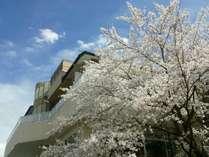 桜の季節には当館レストランから満開の桜をご覧いただけます