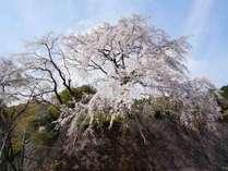 玄関前枝垂れ桜