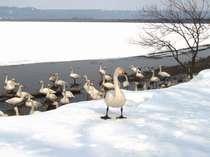 *【屈斜路湖】冬季限定で、白鳥の餌付け体験も可能。