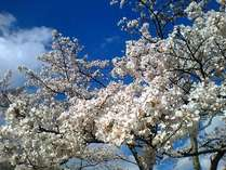 裏匹見峡レストパーク周辺「桜」。満開は3月下旬から4月上旬。