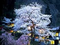 中庭向きのお部屋では夜桜見物も一人占めです