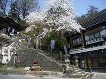 4月中旬から下旬にかけてお隣円蔵寺の華やかな桜がお楽しみいただけます♪
