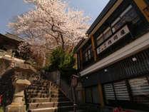 春の内田屋 当館入口の桜は4月中旬~下旬が見頃です♪