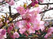 満開前が綺麗な河津桜