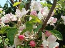 5月上旬咲いてる桃の花8月頃食べ頃です