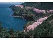 湯の児の海岸と桜「日本桜名所百選 湯の児チェリーライン」