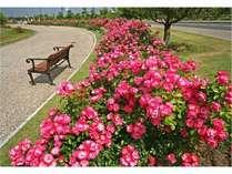 エコパークのバラ園のバラ