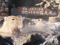 【シャボテン公園】冬の風物詩!カピバラの露天風呂♪(前売り券販売あり)
