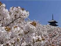 仁和寺と桜風景