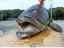 コワウマ魚--クエ