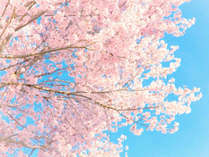 さくら・・・軽井沢の美しい春を体感♪