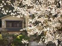 松川沿いの桜
