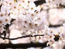 ☆特典付☆【お花見】日本三大桜の神代桜や眞原の桜並木を堪能♪【1泊2食付き】