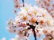 春の桜はとても鮮やかに咲き誇ります【4月下旬~5月上旬】