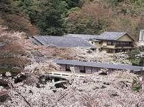 [游月山荘 春] 游月山荘ロビーからの景色。桜の奥に見えるのが宿泊棟でございます。