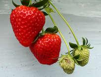 【春限定!】飛鳥でフレッシュなイチゴ食べ放題!農園まで徒歩10分!イチゴ狩りと2食付きプラン!