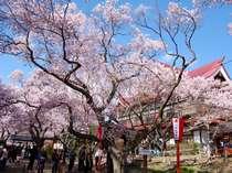 必見! 圧巻の【高遠城址公園】の桜を楽しむプラン♪