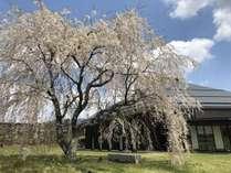 枝垂れ桜と大賀ホール