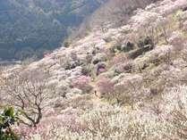 湯河原は2~3月には梅の宴が開催されます。全国からたくさんの方が訪れます