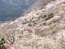 ■湯河原梅林。2~3月がシーズンです。