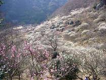 ■全国2番目に有名だと称される湯河原の梅林。