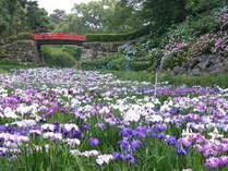 ■小田原城東堀にある花菖蒲園では、6月になると花菖蒲とあじさいが花開きます。