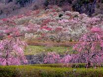 湯河原梅林。2~3月上旬がシーズンです。