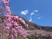 全国2番目に有名だと称される湯河原の梅林。約4000本の白梅、紅梅が咲きます