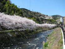 【千歳川の桜並木】見頃は3月下旬~4月上旬