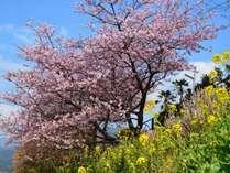 【河津桜】昼 早咲きの桜をお楽しみください