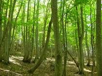 【曜日限定】★ご宿泊翌日に散策★ノルディックウォーク!白神の森遊山道宿泊プラン!