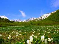 中部山岳国立公園「栂池自然園の水ばしょう」