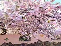 蒜山の桜は開花が遅いので長い期間楽しめます